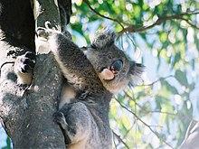 Koala avec des longs poils surtout sur les oreilles, enserrant un eucalyptus