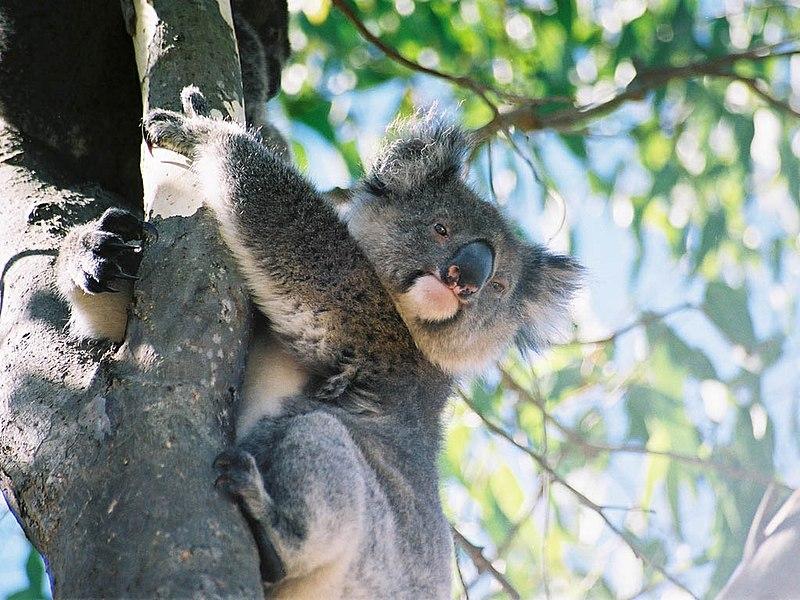 File:Koala Kangaroo Island.jpg