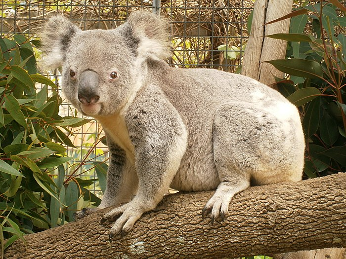 Koala at Birdland Animal Park.JPG