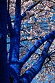 Konstantin Dimopoulos Blue Tree in Blossom Looking Up.jpeg