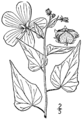 Kosteletzkya virginica-linedrawing-BB.png