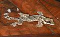 Kuhl's Flying Gecko (Ptychozoon kuhli) (8744025989).jpg