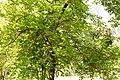 KulTour Parkanlage Sanssouci Stibadium Maulbeerbaum-3306.jpg
