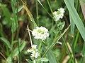 Kulykivka IMG 4668 02 Білі квіточки.jpg