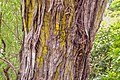 Kunzea ericoides in Wellington Botanical Garden 01.jpg