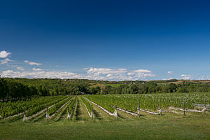 L'Acadie blanc - A Nova Scotia vineyard planted with L'Acadie blanc.