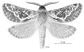 LEPI Hepialidae Aoraia flavida m.png