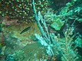 Labrichthys unilineatus juvenile.jpg