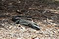 Lace monitor bobbin head park.jpg