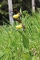 Lady's-Slipper Orchid - Cypripedium calceolus - panoramio (11).jpg