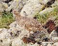 Lagopus muta japonica female Tateyama.jpg