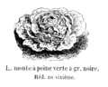 Laitue monte à peine à graine noire Vilmorin-Andrieux 1904.png