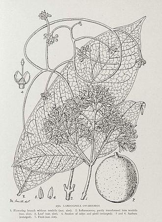 Landolphia owariensis - Botanical illustration