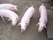 Maiali nel porcile