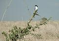Lanius cabanisi in the savanna of Nairobi National Park.jpg
