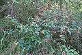 Lantana camara plant DC4.jpg