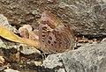 Large Oakblue Arhopala amantes by Dr. Raju Kasambe DSCN3031 (2).jpg