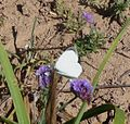 Large White, Pieris brassicae on Limonium sinuatum. - Flickr - gailhampshire.jpg