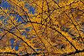 Larix gmelinii Aershan 3.jpg
