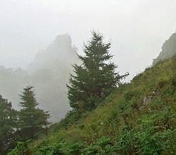 Larix principis-rupprechtii Taihang Shan.jpg