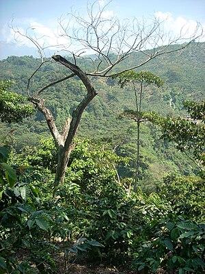 Coffee production in Guatemala - The Las Merceditas coffee plantation, San Rafael Pie de la Cuesta, Guatemala.