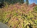 Lasdon Arboretum - Callicarpa japonica 'Issai' - IMG 1502.jpg