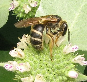 Halictinae - Lasioglossum bee on mountain mint
