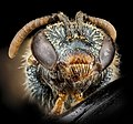Lasioglossum tarponense, F, face, Nacogodoches County, Texas 2012-10-17-11.05.33 ZS PMax (8194068362).jpg