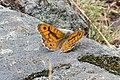 Lasiommata megera - Mauerfuchs, auf dem Weg nach St. Hippolyt, Naraun, Jakobsweg zwischen Meran und Bozen, Trentino, Südtirol, Italien - panoramio.jpg