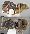 Lasius tapinomoides (10.3897-zookeys.789.27022) Figures 6–7.jpg