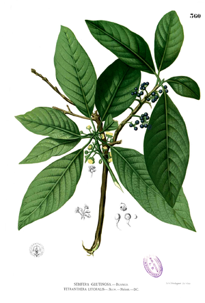 Lauraceae - Litsea glutinosa illustration from Flora de Filipinas, 1880-1883, by Francisco Manuel Blanco