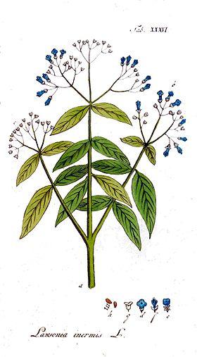 Lawsonia inermis Ypey36.jpg