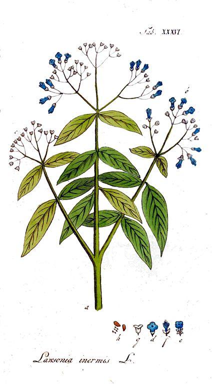 Berkas Lawsonia Inermis Ypey36 Jpg Wikipedia Bahasa Indonesia