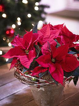 The poinsettia illuminates the end of year holiday season