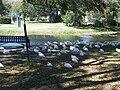 Leesburg FL Venetian Gardens birds10.jpg