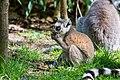 Lemur (35779420674).jpg