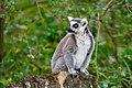 Lemur (36499746763).jpg