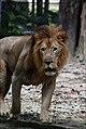 Leon africano.jpg