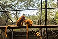 Leontopithecus rosalia in São Paulo Zoo.jpg