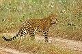 Leopard in Tadoba TR.jpg