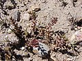 Lepidium rahmeri Phil. (33745879490).jpg