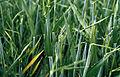 Les Plantes Cultivades. Cereals. Imatge 3221.jpg