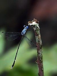 Lestes dorothea male.jpg