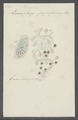 Leucophrys pyriformis - - Print - Iconographia Zoologica - Special Collections University of Amsterdam - UBAINV0274 113 15 0010.tif