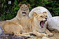 Lev konžský.jpg