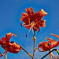 Lilium lancifolium-IMG 9250.jpg