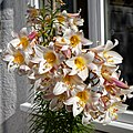 Lilium regale, regal lily in Essex, England (cropped).jpg