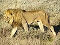 Lion (6521923093).jpg