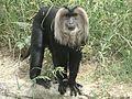 Lion monkey.jpg
