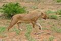 Lioness (Panthera leo) (32683328624).jpg